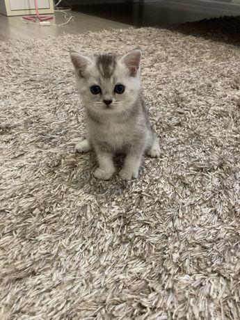 Продается котенок скотиш страйт
