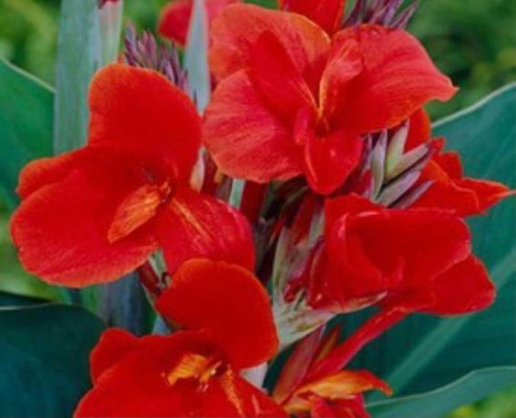 червена Кана цвете