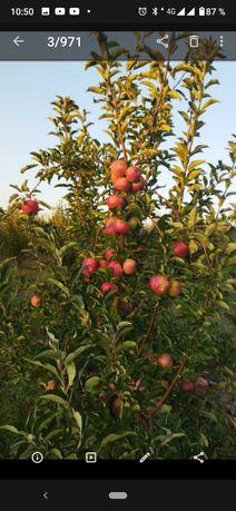 Яблоки продам айдарет, золотое превосходное