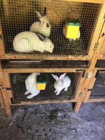 Vând iepuri vii sau carcasa. Rasa californian