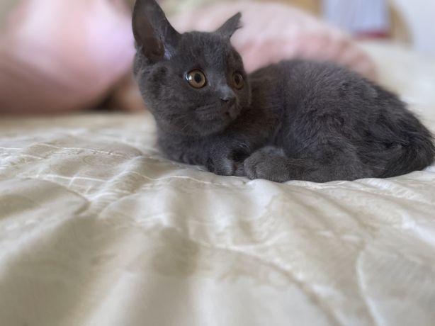 Продам котенка скотиш-страйт 2-х месчн