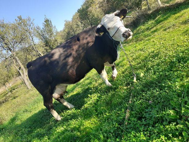 Vand vaca gestanta an luna 8