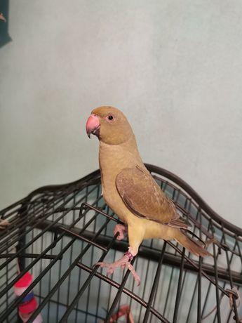 Papagal micul Alexander