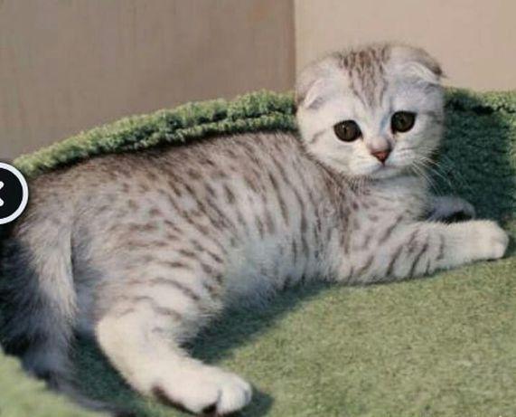 Серебристые хорошенькие вислоухие котята