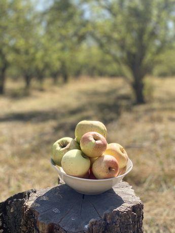Яблоки сорт Заря