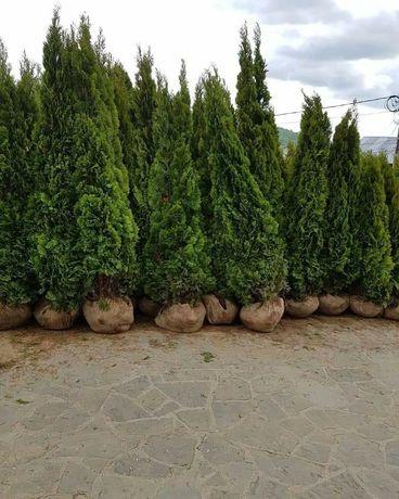 Plante ornamentale Tuia dimensiuni mari