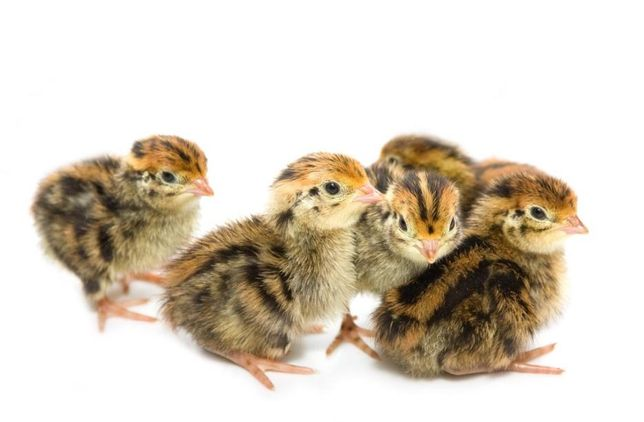 Перепелиный корм для цыплят старт 240тг/кг