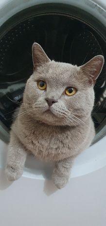 Пропал котик-британец