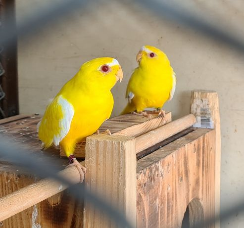 Vand pereche de papagali Neophema Elegans!