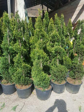 Plante ornamentale preturi de producator