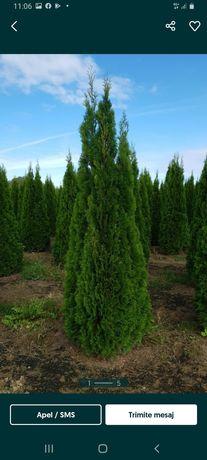 Vindem o gama larga de plante ornamentale