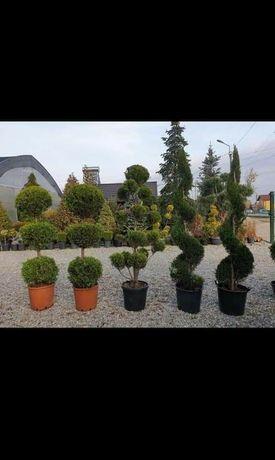 Vînd tuia smarald leilandi magnoli gazon de calitatea extra