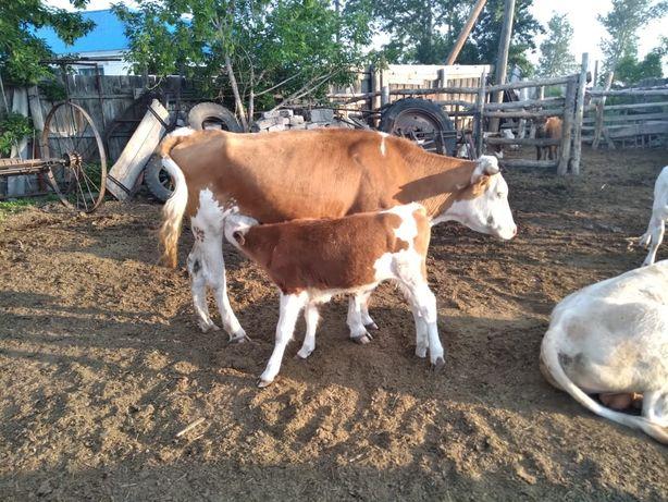 Продам коров с телятами