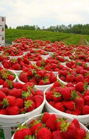 Plante Căpșuni 0,40 bani planta