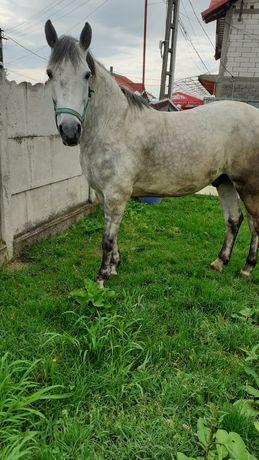 Vând cal în vârstă de 6 ani | Foarte bun de tras,foarte cuminte