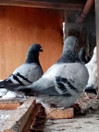 Vând porumbei voiajori standard sau schimb și cu iepuroaica uriași ger
