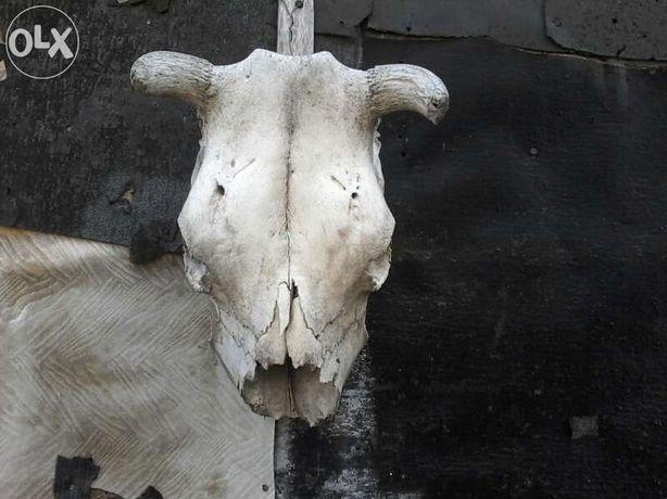 vand cranii de vaca, berbecuti, bivol,