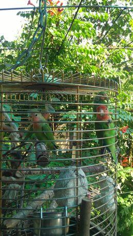 Vând papagali amorezi