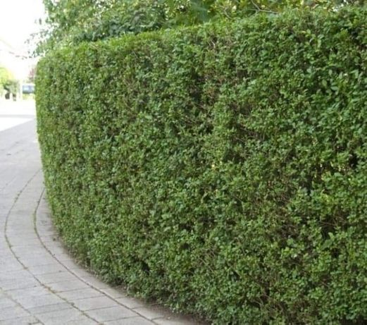 Vindem gard viu lemn cainesc (ligustrum vulgare)
