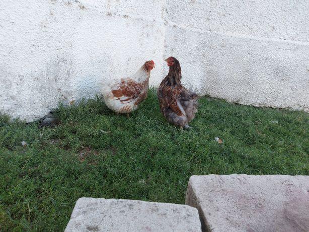 Vând găini rasa wyandotte