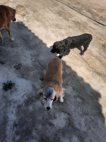 Собака русского спаниеля (2x) пара