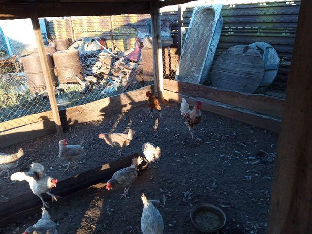 Курицы и петухи домашние
