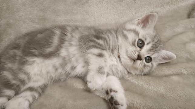Котята скоттиш страйт