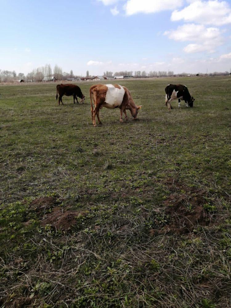 Алатауская дойная корова