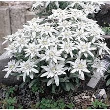 Еделвайс (leontopodium alpinum)