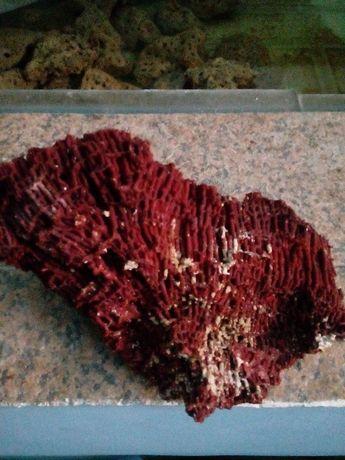 коралл красный
