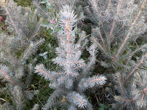 Puieti ornamentali molid argintiu 4 ani-Picea Pungens Glauca Kaibab