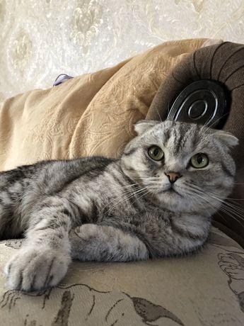 Кот скотиш фолд на случку