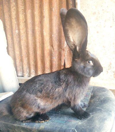 Продам кролика самку