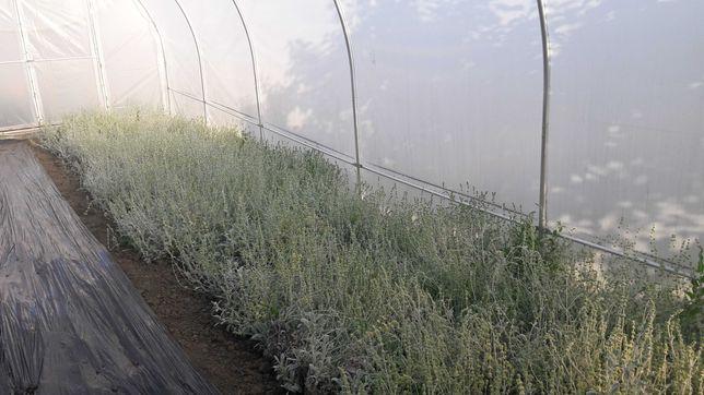 Ceaiul Muntele Grecesc-Sideritis Scardica(Iarba de fier)