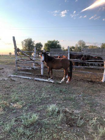 Срочно продам лошадь