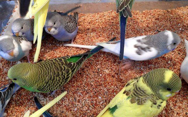 Попугай волнистые #1