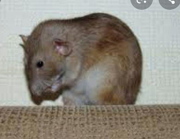 Крысята цвет Агути