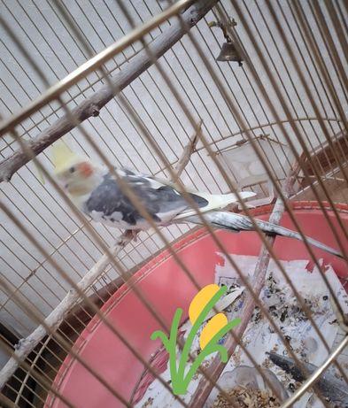 Попугай Корелла продам двух летний