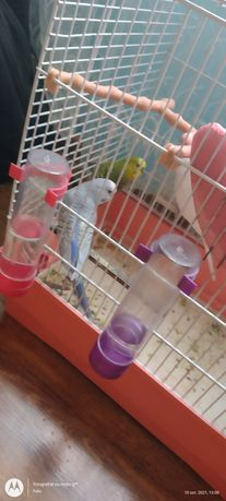 Peruși papagali..c