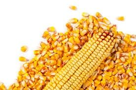 Porumb  boabe cereale