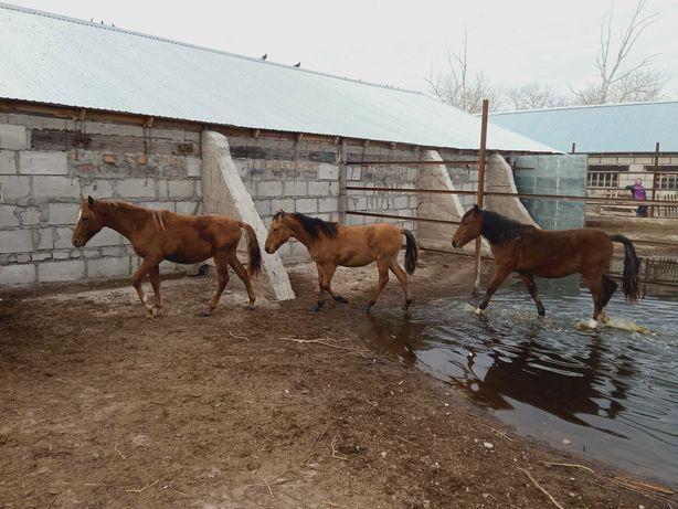 Лошади (полуторагодовалые)