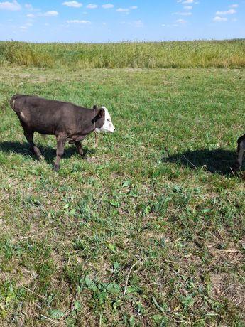 Продам карову с теленком