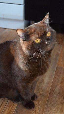 Британский кот на вязку.