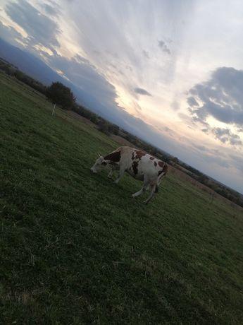 Vaca cu vițela Angus