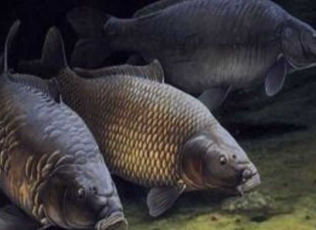 Сазан живая рыба