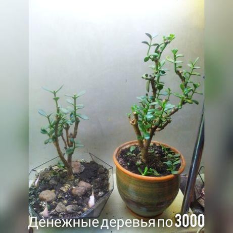 Денежное дерево взрослое