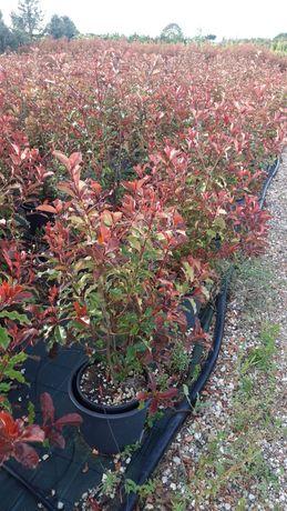 Fotinia Red (photinia)