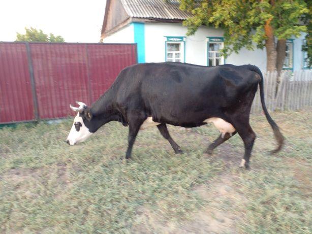 Продам корову ,дойную
