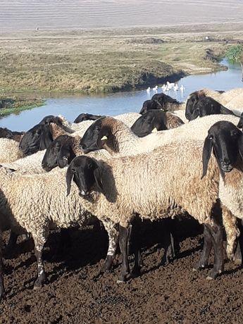 Vând 90 de oi carabase