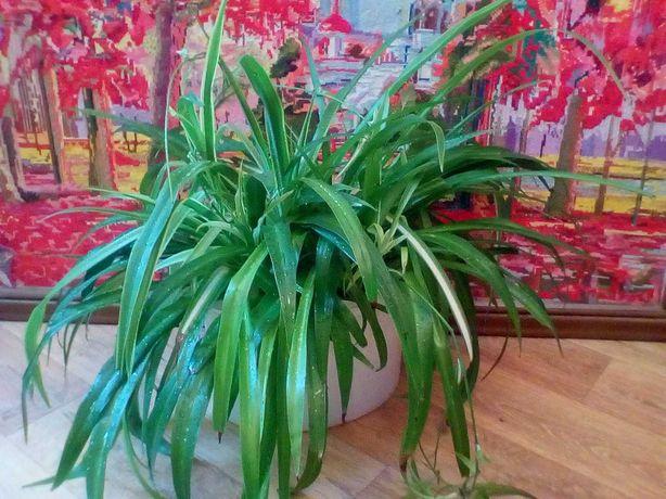 Хлорофитум, растение насыщает кислородом и очищает воздух!